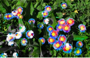 Gänseblümchen in pink und blau