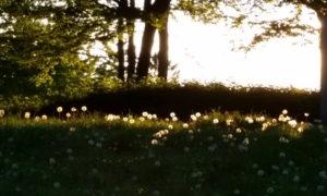 Wiese mit leuchtenden Pusteblumen